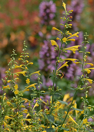 yellow agastache at Mischler's