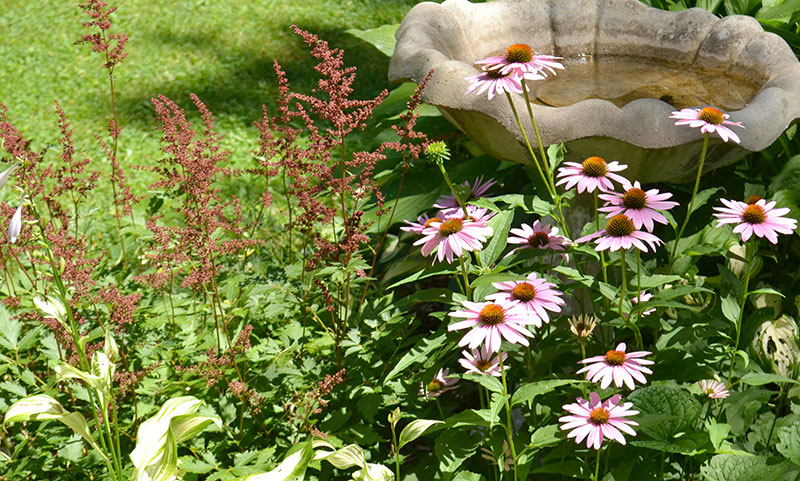astilbe and coneflowers