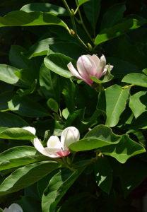 magnolia blooming in Hamburg