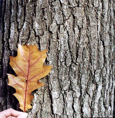 northern red oak bark and leaf