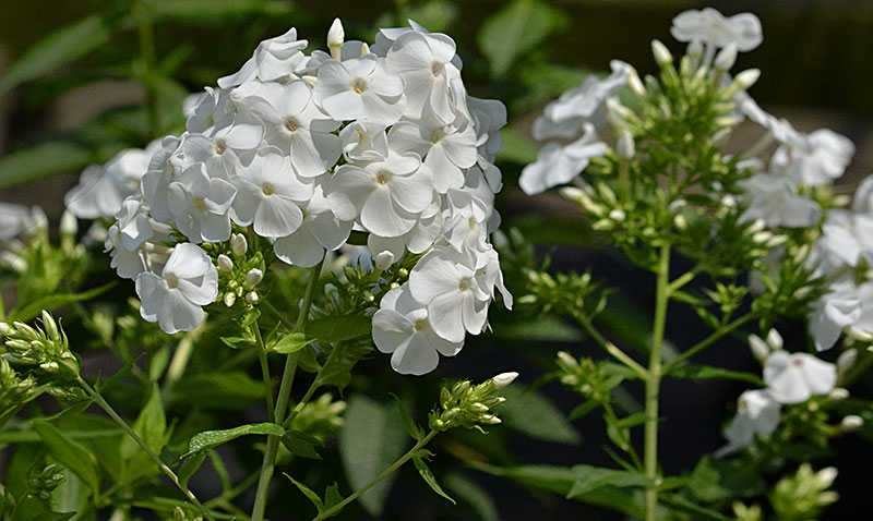 white phlox at Mischler's