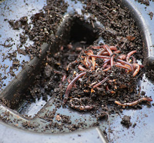 worms in lid