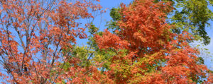 autumn leaves and sky in Williamsville NY