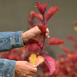 cutting from a coleus