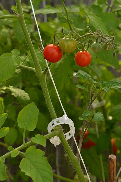 strings supporting tomato plant