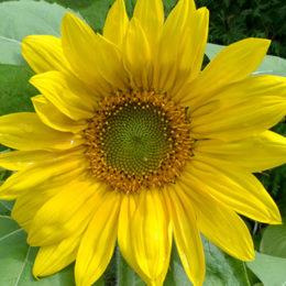 sunflower by Stofko