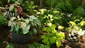 black and white pots in garden