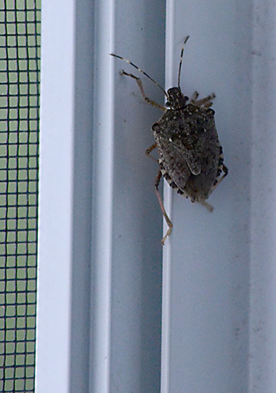 brown marmorated stink bug near window