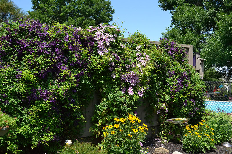 clematis covering tall fence