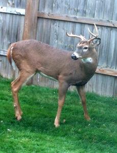 deer buck in Cheektowaga NY
