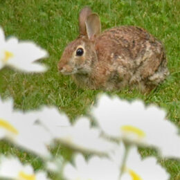 rabbit with daisies