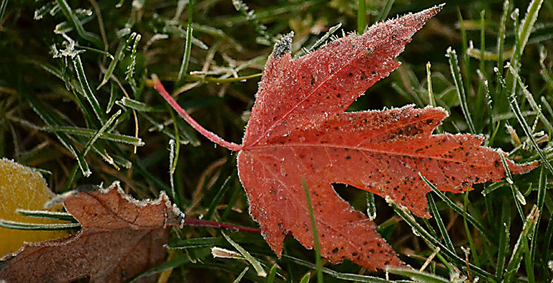 red leaf with frost by Stofko