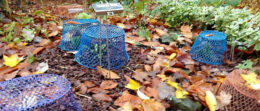 baskets on top of hosta plants