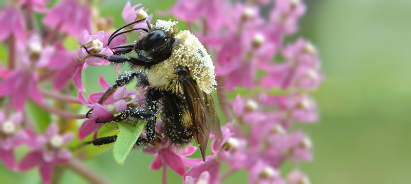 bee covered in pollen on swamp milkweed