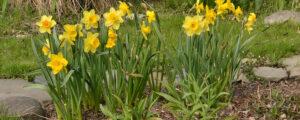 daffodils in garden in spring