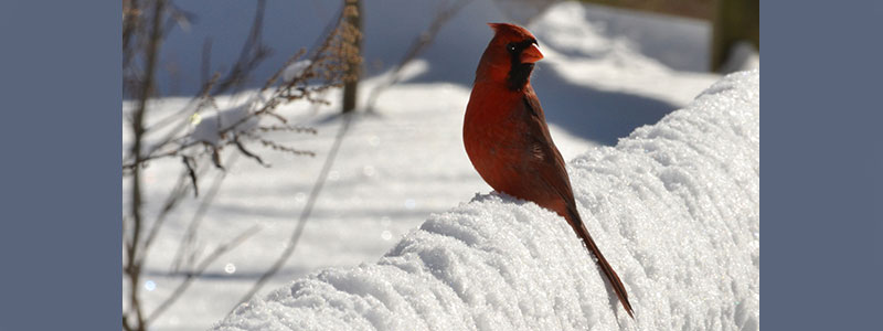cardinal in snow by Stofko