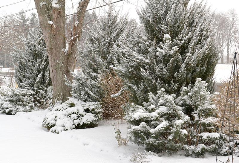 junipers in winter garden