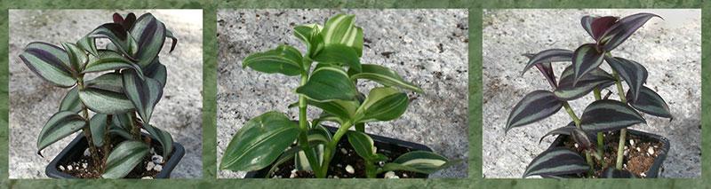 Tradescantia plants