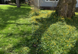 yard covered in lesser celandine