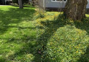 yard covered in lesser celandine