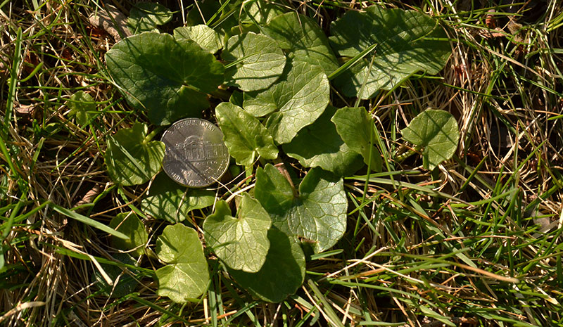 lesser celandine leaves with nickel to show size