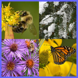 evergreen in snow and bee, butterfly, aster, goldenrod
