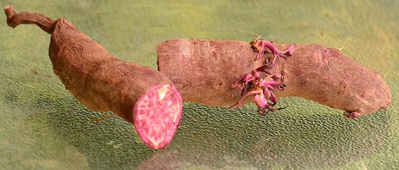 Hawaiian purple sweet potato with shoots