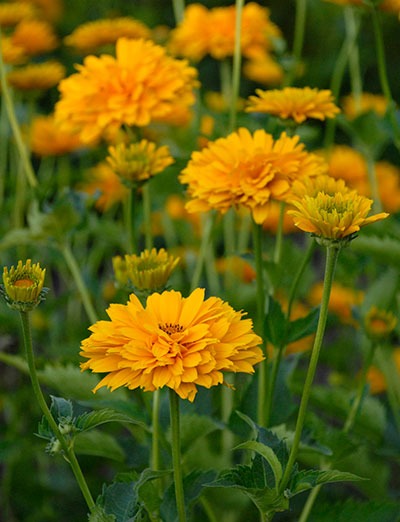 Heliopsis 'Summer Sun' (false sunflower)