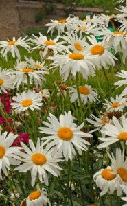 Leucanthemum superbum 'Alaska' (Shasta daisy)