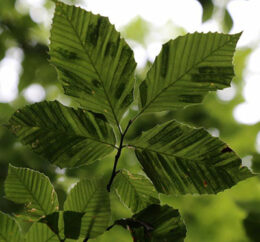 leaves with beech leaf disease