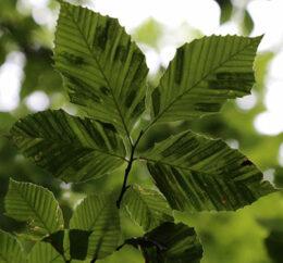 leaves with beech leaf disease