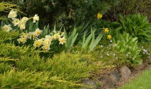 daffodils under juniper