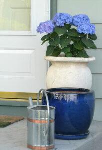 forced hydrangeas by door