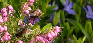 bee on heather with vinca in background