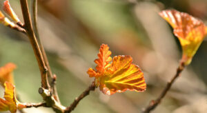 spring leaves of nine bark Amber Jubilee