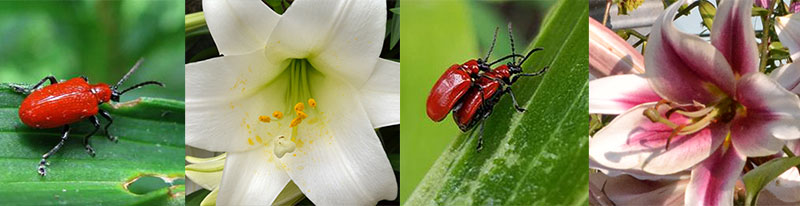 red lily leaf beetles and lilies