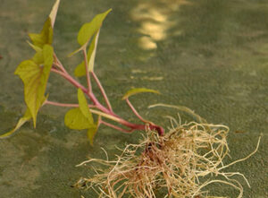 sweet potato plant with roots