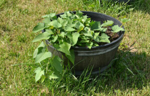 container with sweet potato plant