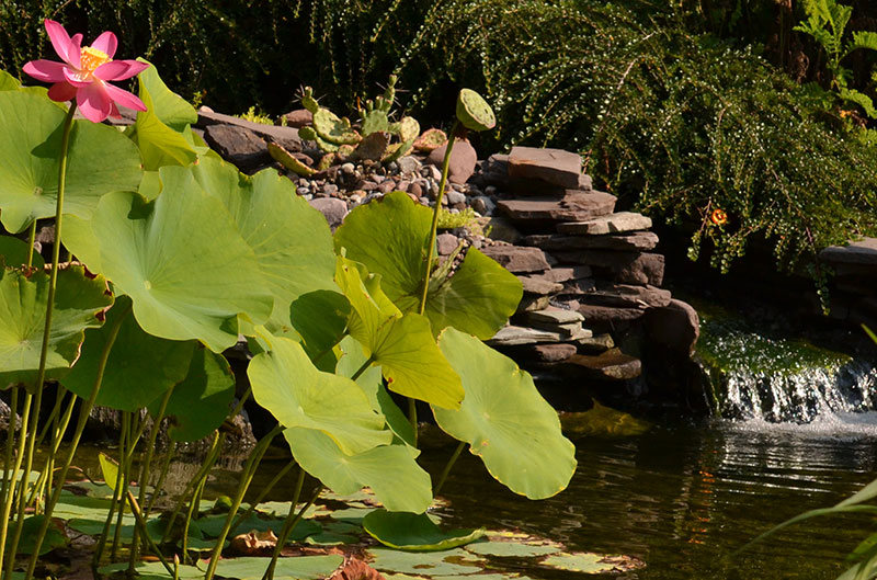 water lilies on pond with small waterfall in Tonawanda NY