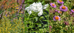 agastache, phlox and aster