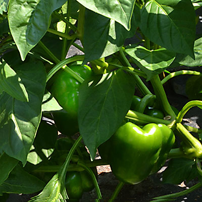 green peppers on plant