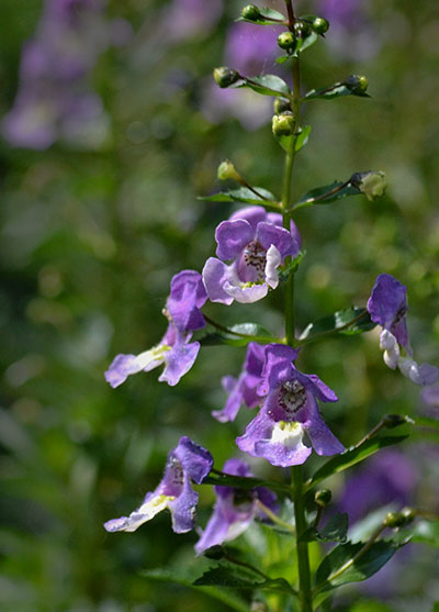angelonia by Stofko