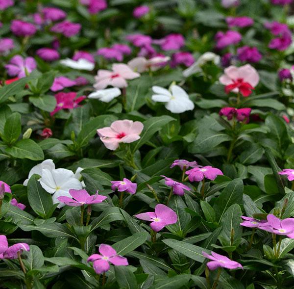annual vinca or Catharanthus roseus