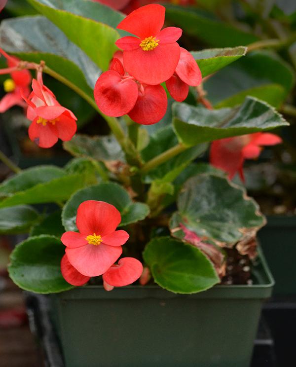 Begonia 'BIG'