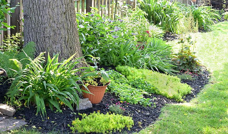 garden under black walnut in Lewiston NY