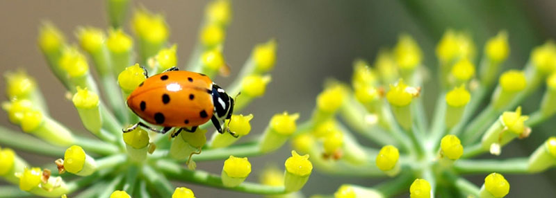ladybug hippodamia convergens