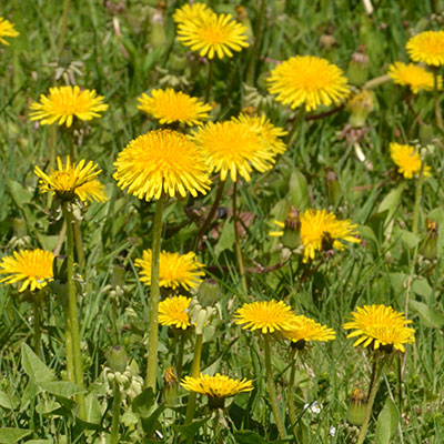 dandelions in bloom in Amherst NY