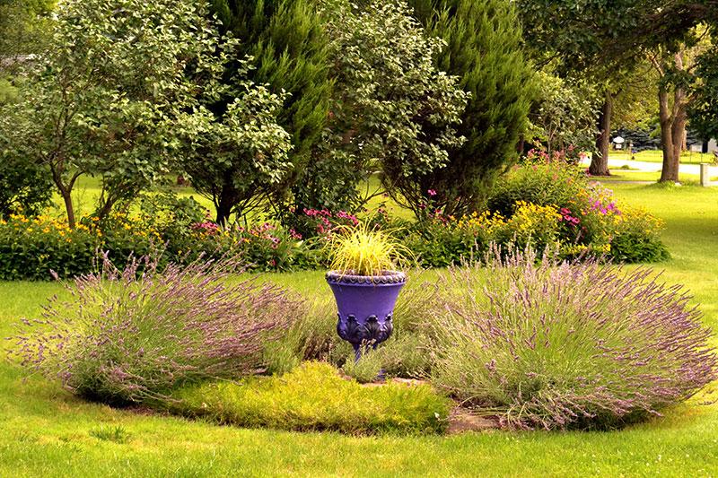 lavender garden in Pendleton NY