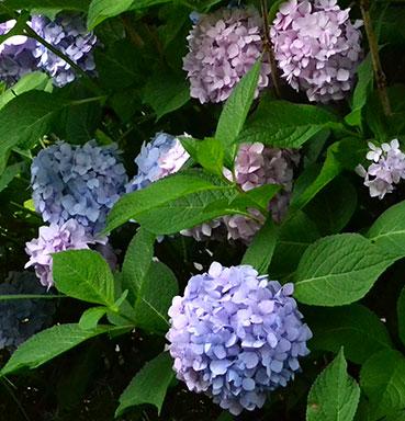 pink and blue hydrangeas in Western New York