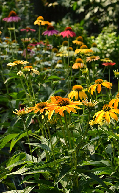 Echinacea plants in bloom in Williamsville NY